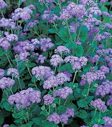 Ageratum Blue Horizon - A taller plant than its sibling Artist™ Purple, with sturdy stems that won't get beaten down by weather. They are excellent in gardens or bouquets.  Full sun.