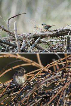 Bird-Friendly Communities: Build a Brush Pile for Birds| Top Photo: Dunnock. Photo: Steven Booth/Alamy. Bottom Photo: Dark-eyed Junco. Photo: Christine Haines/Great Backyard Bird Count