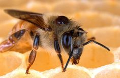 Deadly parasitic Varroa mite on the back of a honey bee. Scientists have developed a new bait that may help control varroa mites, the top pest of honey bees. Feeding Bees, Propolis, Homestead Survival, Survival Food, Survival Skills, Save The Bees, Bees Knees, Bee Keeping, Close Up