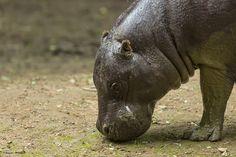 A la différence de son cousin amphibie, 15 fois plus gros et que l'on trouve dans la savane, l'hippopotame pygmée vit en forêt tropicale !
