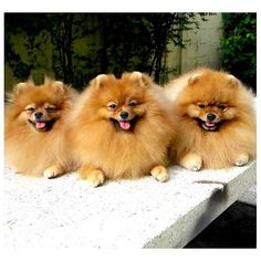 Is three excessive? I think George & Daphne would love a little brother  #PomeranianPower @pomeranianworld
