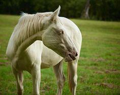 American Albino