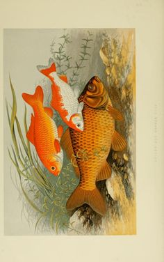 Carp. British fresh water fishes v.1  London [etc.] :W. Mackenzie,[1879].  Biodiversitylibrary. Biodivlibrary. BHL. Biodiversity Heritage Library