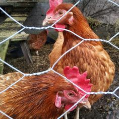 Seppälän tilan kanaset