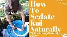 How To Sedate Koi Naturally