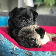 cute pug puppies Products THE CUTEST PUG PUPPIES EVER! Here is your pugrific pug dose of deadly cuteness! Lets spread the love! Save this image to your pugs board! Cute Pug Puppies, Cute Dogs, Doggies, Terrier Puppies, Bulldog Puppies, Lab Puppies, Boston Terrier, Black Pug Puppies, Bull Terriers