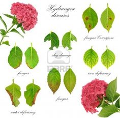 http://nl.123rf.com/photo_11808718_ziekten-van-hydrangea-macrophylla-bloem-op-een-witte-achtergrond.html