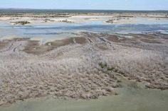 Mangrove dieback 201