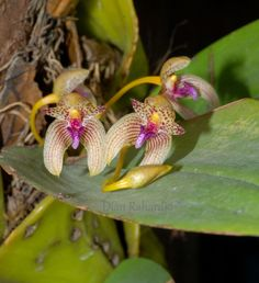 Bulbophyllum anceps - Flickr - Photo Sharing!