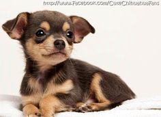 Baby Chihuahua image via www.Facebook.com/CuteChihuahuaFans