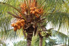 6/21(火)バリ島ウブドのお天気は晴れ。室内温度28.3℃、湿度70%。ココナッツは黄色と緑の2種類あり♪緑はココナッツジュース、黄色はお祭りでよく使われます!