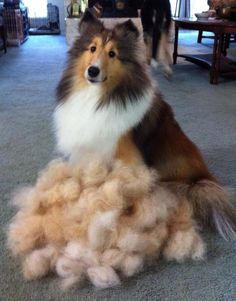 This pic tells the truth on their grooming session. Looks just like when I brush and cut my own dogs hair