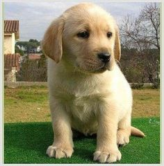 Labrador puppy. Oh my goodness, too cute!