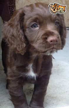 Chocolate brown, working cocker spaniel puppy