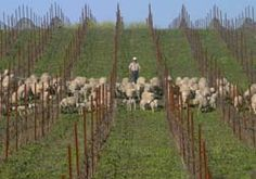 Wooly Weeders at Cline Cellars, Sonoma Valley