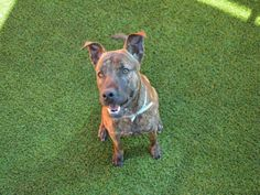 2 DAYS LEFT  7/23/17**CODE RED**rnI am a neutered male brown brindle Terrier mix.rnrnThe shelter staff thinks I am about 2 years old and I weigh 39 pounds.rnrnI was found as a stray and I am available for adoption!rnrn***PLEASE HELP ME - MY TIME IS LIMITED*** rnI