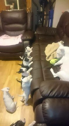 Bull Terrier Puppies and Mummy xoxoxox