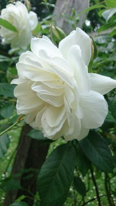 Kletterrosen sind sehr robust, frosthart und dicht belaubt Climbing roses are very robust, frost hardy and dense leafy White Climbing Roses, White Roses, White Flowers, Flowers Gif, All Flowers, Beautiful Flowers, Roses Only, Moon Garden, White Gardens