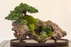 Shimpaku on rock...