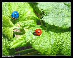 blue and red ladybugs