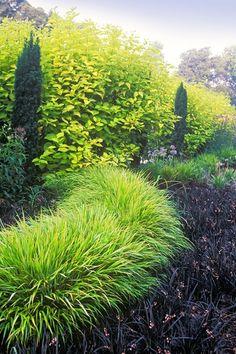 Garden design by Adrian Bloom: Cornus alba Aurea,  Taxus baccata Robusta, Hakonechloa macra and Ophiopogon planiscapus Nigrescens in summer -- Bressingham Gardens