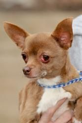 Sadie is an adoptable Chihuahua Dog in Lambertville, NJ. SADIE is a 7 pound and 6 year-old brown female Chihuahua. She came into our foster care having been a stray that had a difficult time surviving...