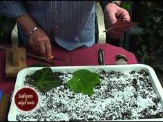Prof. Juan Carlos Latriglia - Plantas multiplicadas por hojas