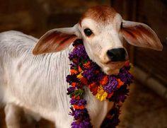 Flower de-decked calf, Hare Krishna goshalla, Vrindavan, India. Jai Govinda!!