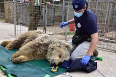 <p>And now we have more hopeful news to share: the Four Paws International rapid response team has been working diligently to rescue the starving bear and lion, named Lula and Simba respectively. </p>