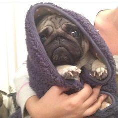pugadise: Mumma keeping me warm and cosy #pug