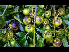 Diospyros nigra, the black sapote, is a species of persimmon. Common names include chocolate pudding fruit, black soapapple and (in Spanish) zapote prieto.
