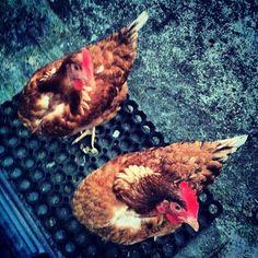 Happy Hens Balbina & Josephine:)