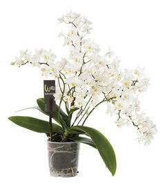 """Veenplant BV: Phalaenopsis Hybrid """"White Wild"""""""