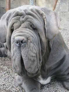 Parade of Neapolitan Mastiff puppies Giant Dog Breeds, Giant Dogs, Big Dogs, I Love Dogs, Dogs And Puppies, Doggies, Neopolitan Mastiff, Wallpaper English, Mastiff Puppies