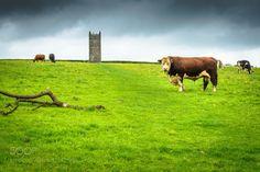 Bull Shot by Brett_G  United Kingdom Grass Field Bull Cornwall Tower Farm Fear Cow Cotehele Saltash St Dominick Brett_G