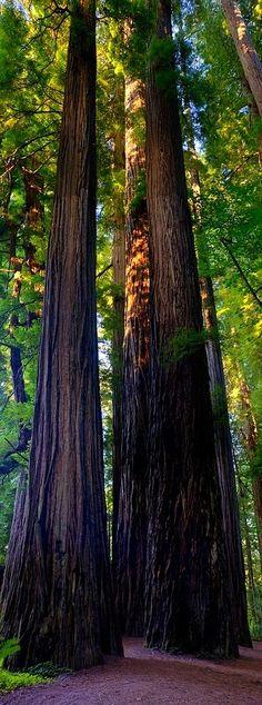 ✯ Coastal Redwoods in Stout Grove . Jedediah Smith State Park . California :: By Loree Johnson ✯
