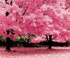 Pink Trees~