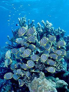 Aldabra, Seychelles Meyer's Butterflyfish feeding on Acropora coral, Aldabra, Seychelles