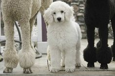 Baby Maggie the Standard Poodle by Alan Brown. #poodle,#standard,#dog,#love, #cute lesliebro