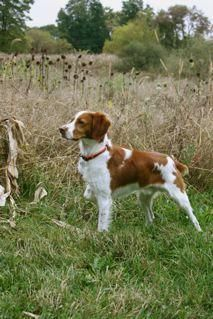 Next Cover Of Pheasants Forever Magazine Brittany Spaniel Dogs Brittany Dog Hunting Dogs