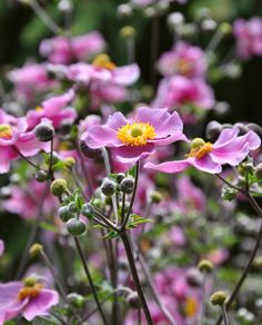 Japanese Anemone. A great choice for the late summer garden.