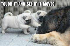 Funny Pug Dog Meme Pun LOL | FUNNY PUG DOG MEMES LOL ...