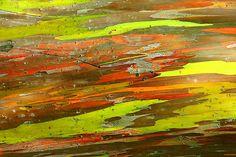 Inspire Bohemia: Eucalyptus deglupta: The Rainbow Eucalyptus Tree L Eucalyptus, Colorful Trees, Colorful Paintings, Nature Paintings, Rainbow Eucalyptus Tree, All Nature, Tree Bark, Tree Tree, Nature
