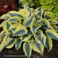Proven Winners - Shadowland® 'Autumn Frost' - Hosta hybrid purple lavender plant details, information and resources. Best Perennials, Plants, Violet Plant, Outdoor Landscaping, White Plants, Planting Flowers, Hostas, Lavender Plant, Shade Perennials