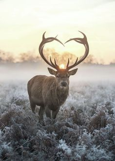 Heart shaped antlers 36 by Max Ellis-Heart shaped antlers 36 by Max Ellis Heart shaped antlers 36 by Max Ellis, Fine Art Prints for sale. A previous sighting of this magical animal, only seen once a year on Valentine's day. The Love You Deer. Deer Photos, Deer Pictures, Animal Pictures, Pics Of Deer, D Day Photos, Animals And Pets, Baby Animals, Cute Animals, Beautiful Creatures