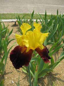 Iris planting tips