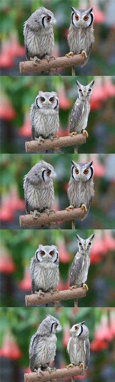 アフリカオオコノハズク。  「あんた誰?」「私やん」「ああ、あんたかいな」「で、あんた誰?」無限ループ