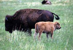 Jig of Bones:  Constancy's Grandpa George and his family raise bison on their Blazingstar Ranch in South Dakota.  http://www.wingsepress.com/Bookstore/Jig%20Of%20Bones.htm