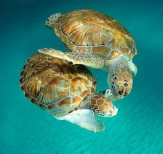 Sea Turtle dance partners