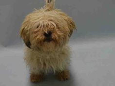 FLUFFY - A1064497 - - Brooklyn Please Share: TO BE DESTROYED 02/10/16 **NEEDS NEW HOPE RESCUE** Well Fluffy may have reached her teen years but she's one gutsy girl – or at least she'd like us to think so. Fluffy weighs only 11-pounds, but she assumes a strident stance to convince folks that she's a tough girl. Fluffy is a mix of Shih Tzu and Poodle and she's landed in the shelter beside her buddy SHADOW – A1064496. Now Shadow is a much larger pit bull mi